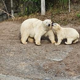 Das Eisbärmädchen Nana mit seiner Eisbärmutter