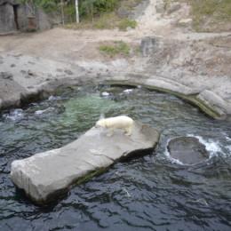 Das Eisbärmädchen Nana im Wasser - Die Eisbärmutter liegt am Ufer